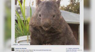 Wombat Patrick w poszukiwaniu miłości (nagranie archiwalne z 2015 roku)