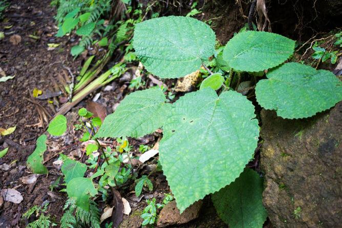Dendrocnide moroides (Shutterstock)