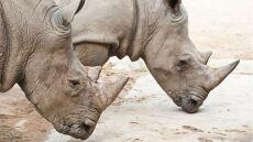 Środkiem wywołującym biegunkę będą chronić nosorożce przed śmiercią