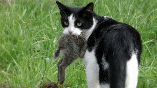 Australia: wybiją 2 miliony dzikich kotów