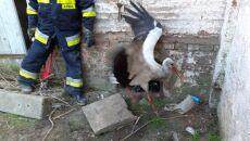 Bocian wpadł do komina gorzelni (OSP Przelewice)