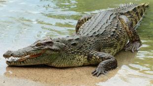"""""""Śmiertelne niebezpieczeństwo. Krokodyl na wolności!"""""""